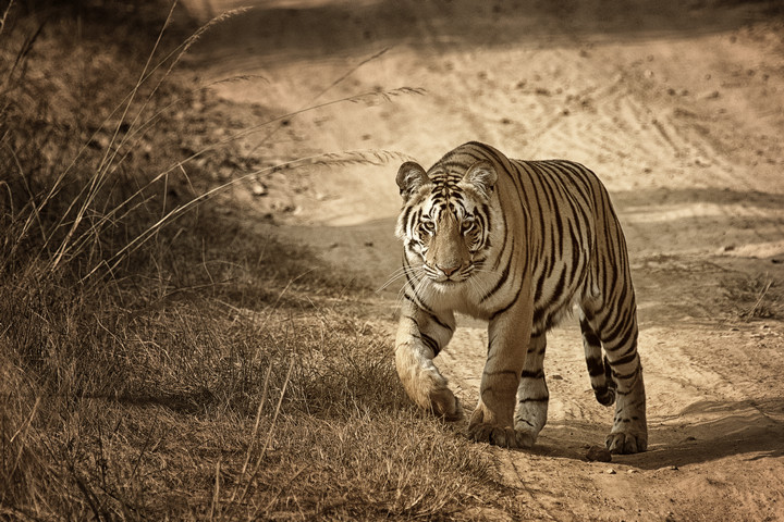 HR_Tiger crtd Harish