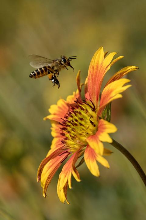 Pollen Collect