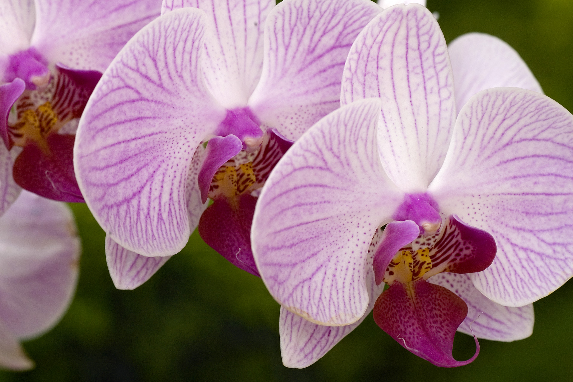 Decor Orchids