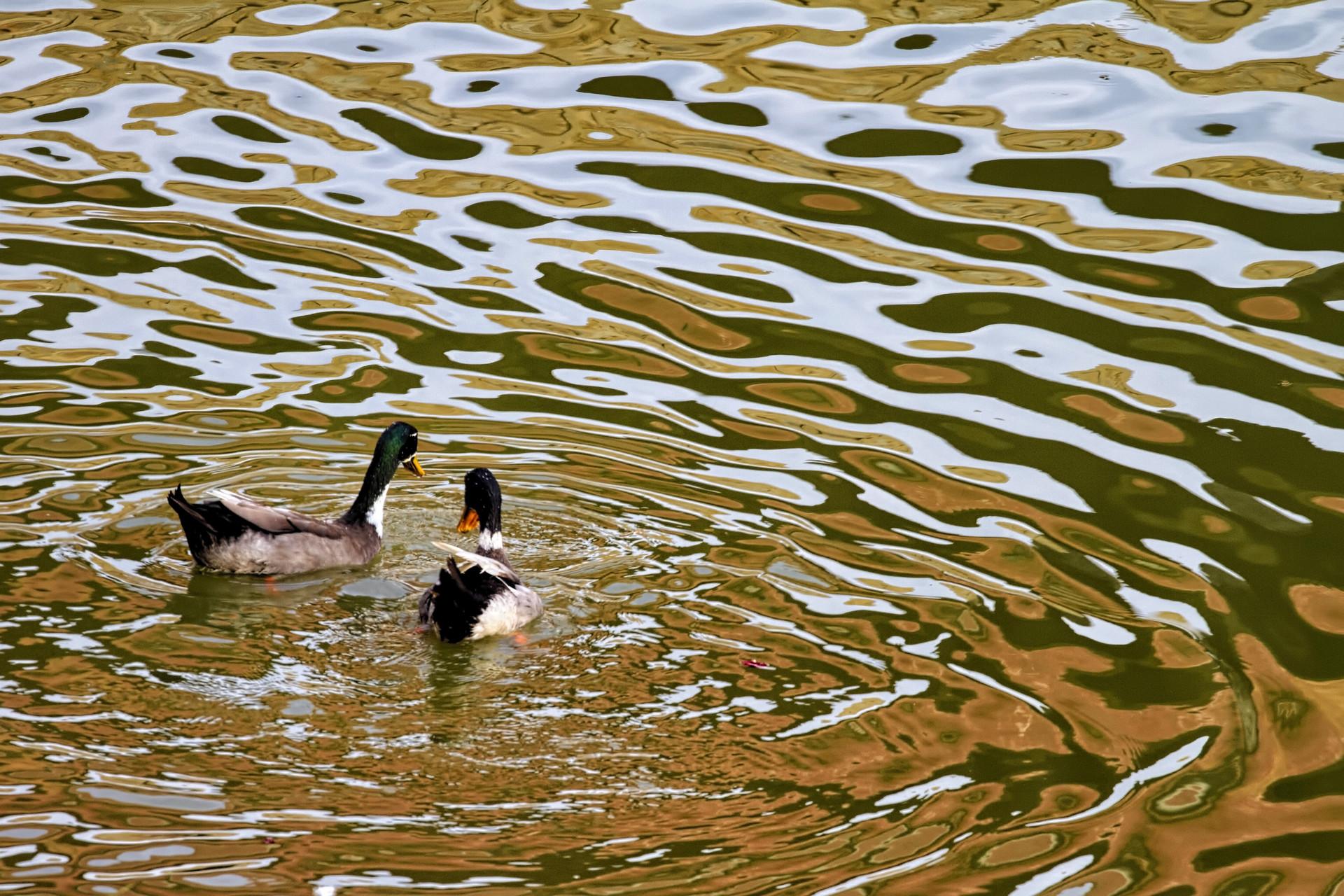 Duck Scape